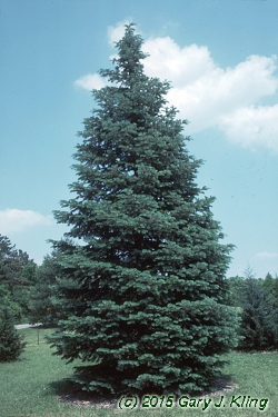 Abies Concolor Habit Uiplants