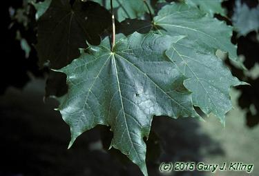 Acer Platanoides Emerald Lustre Habit Uiplants
