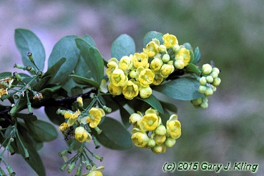 Berberis Thunbergii Atropurpurea Crimson Pygmy Berberis x 'Emerald Ca...