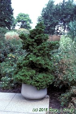 chamaecyparis obtusa 39 nana gracilis 39 habit uiplants. Black Bedroom Furniture Sets. Home Design Ideas
