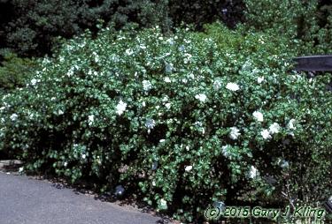 Hibiscus Syriacus Diana Habit Uiplants