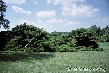 Juniperus Pfitzer Compacta