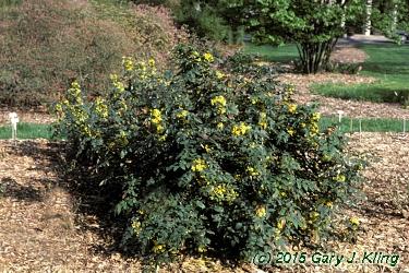 Mahonia Aquifolium Habit Uiplants