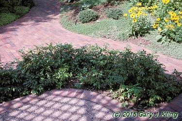 Mahonia Aquifolium Compactum Habit Uiplants