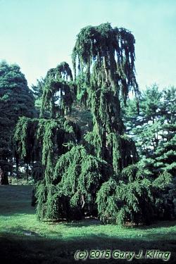 Picea Abies Inversa Habit Uiplants