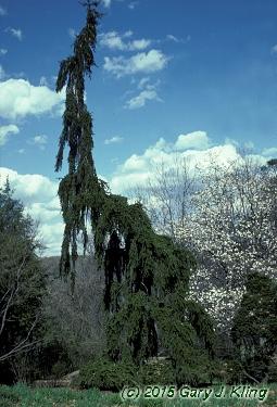 Picea Abies Pendula Habit Uiplants