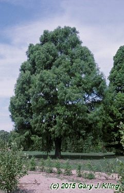 Taxodium distichum 'Monarch of Illinois'